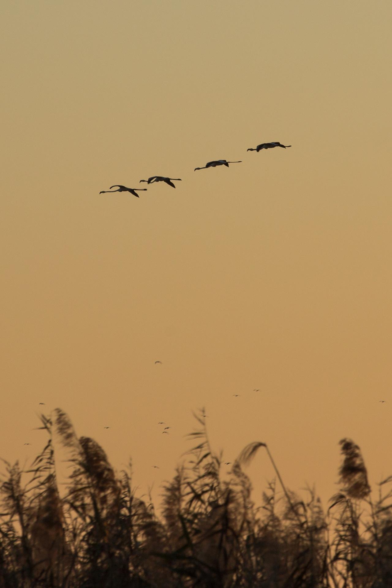 Flamingos flying at sunset