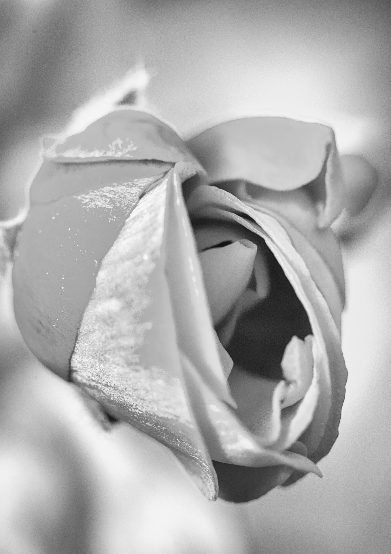 Rose bud partially open