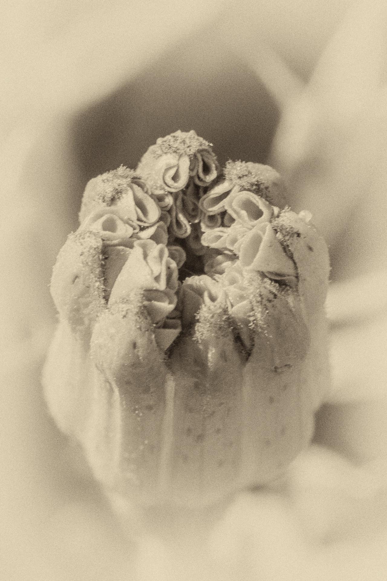 Marigold bud close up