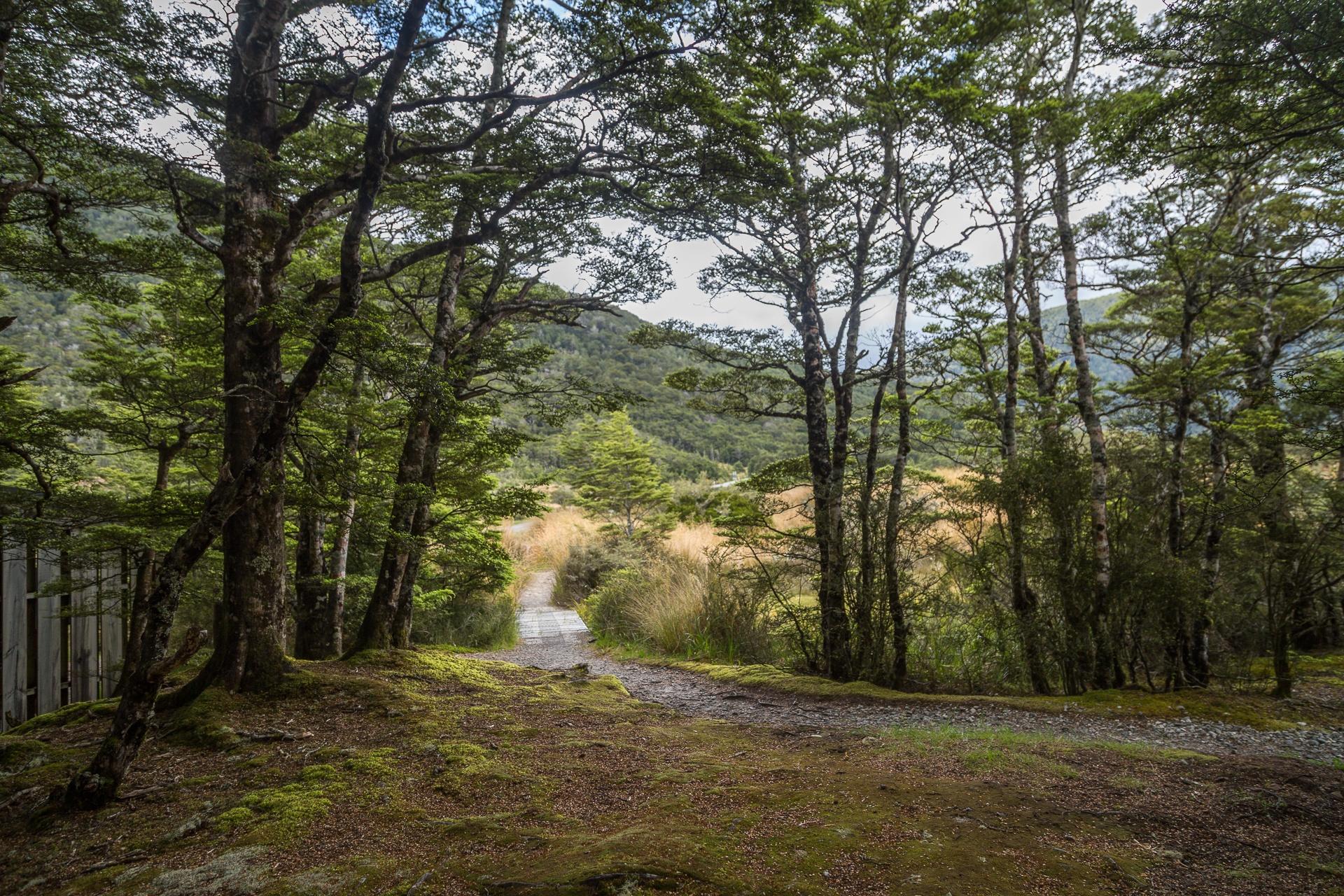 New Zealand beech forest