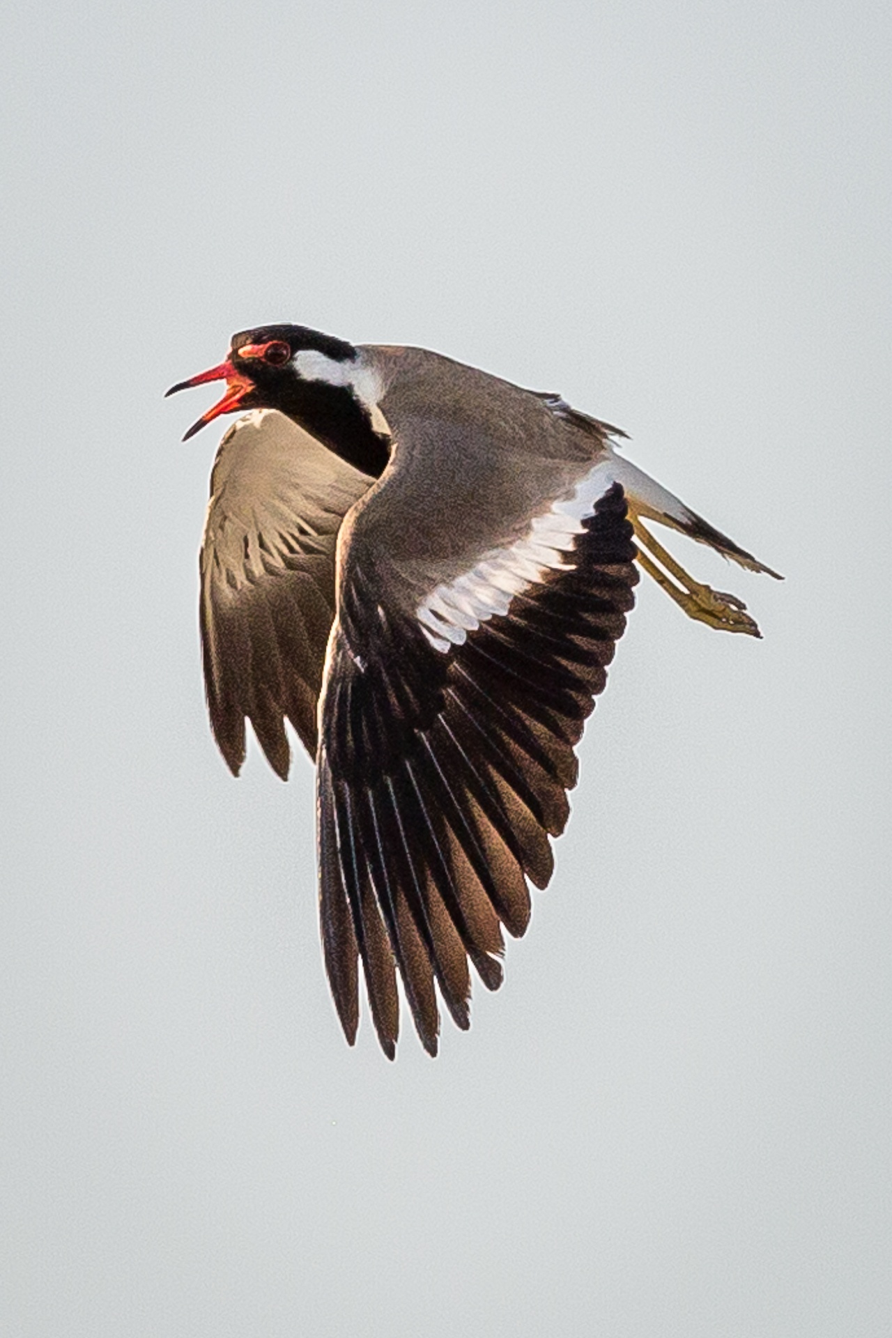 Red-wattled Lapwing in song