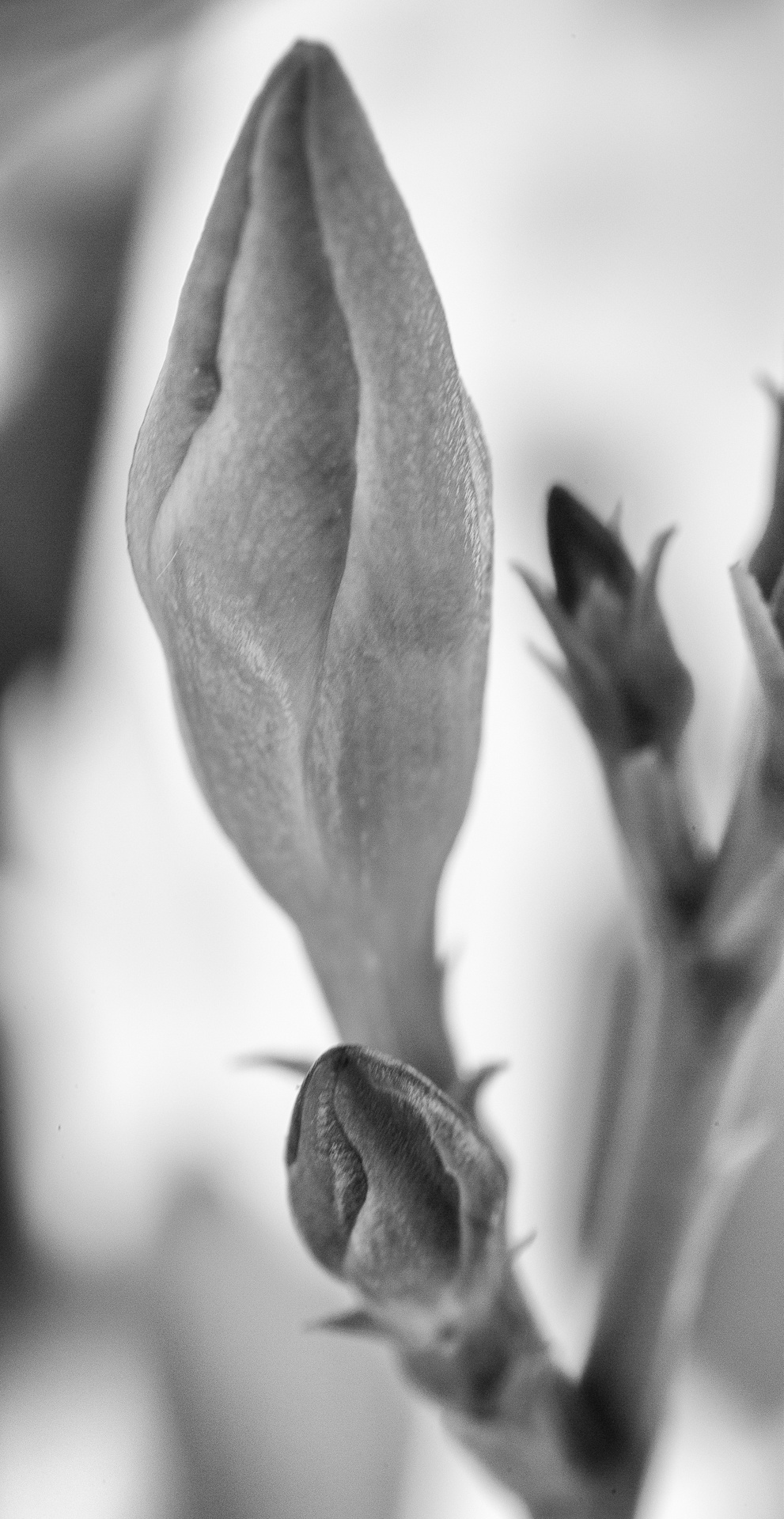Bud of the iris flower