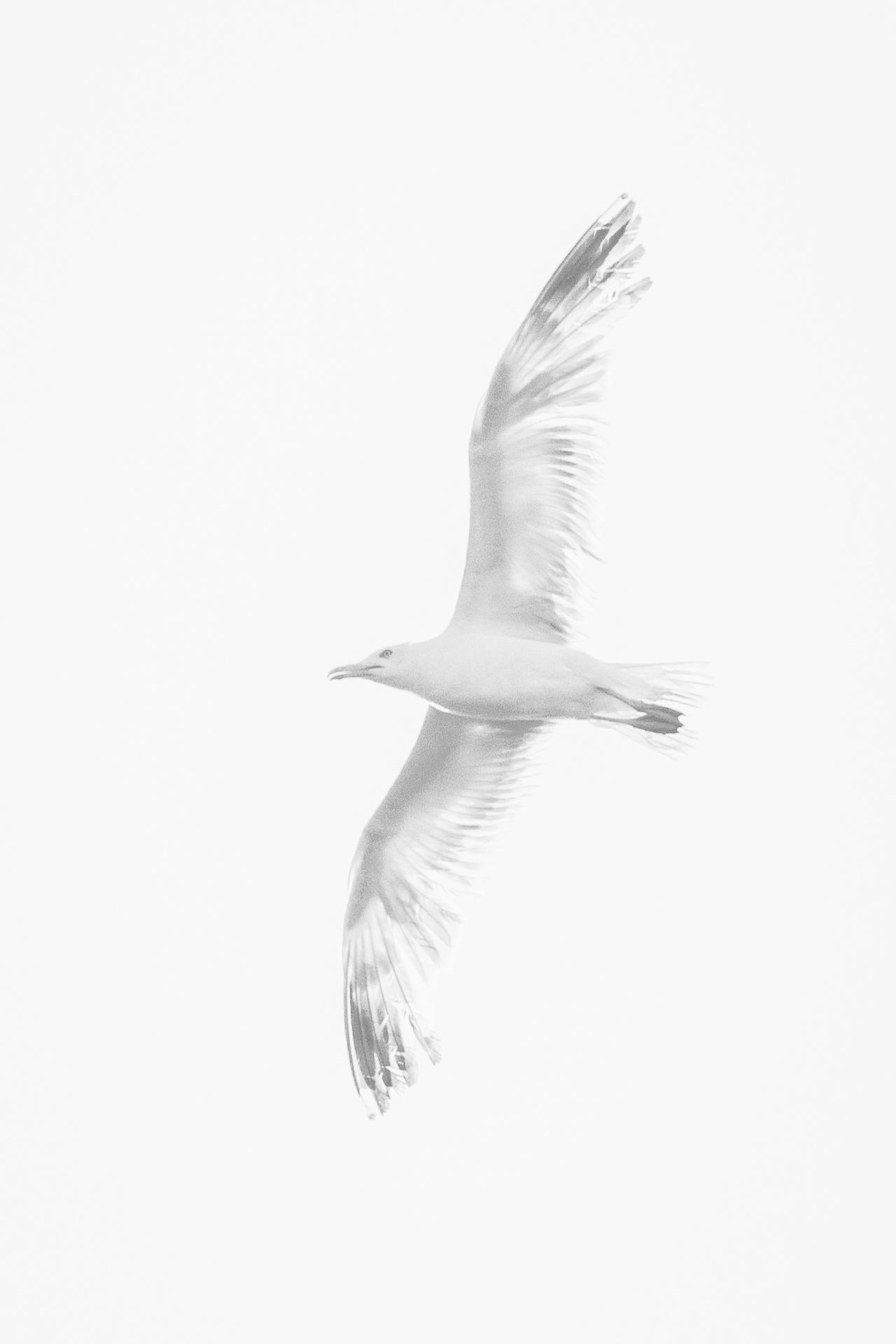 White headed gull in flight
