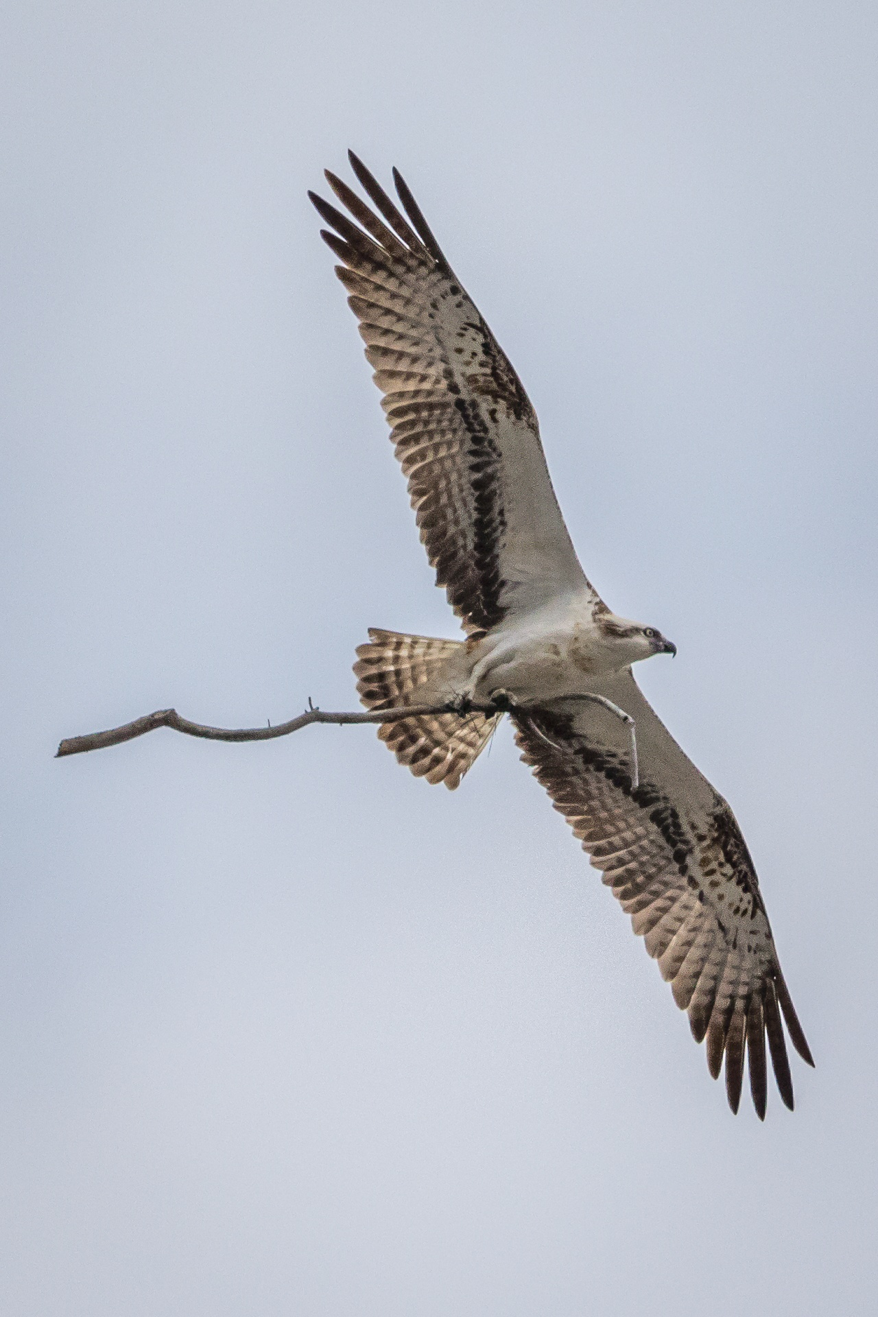 Osprey in flight carrying large twig for nest building