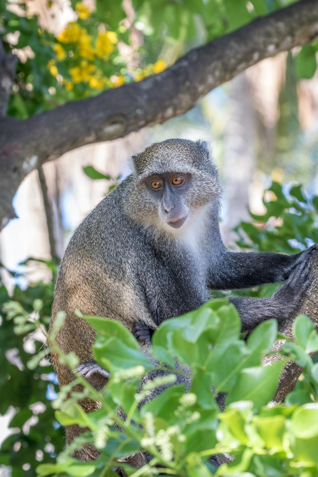 Skyes monkey, Zanzibar-1