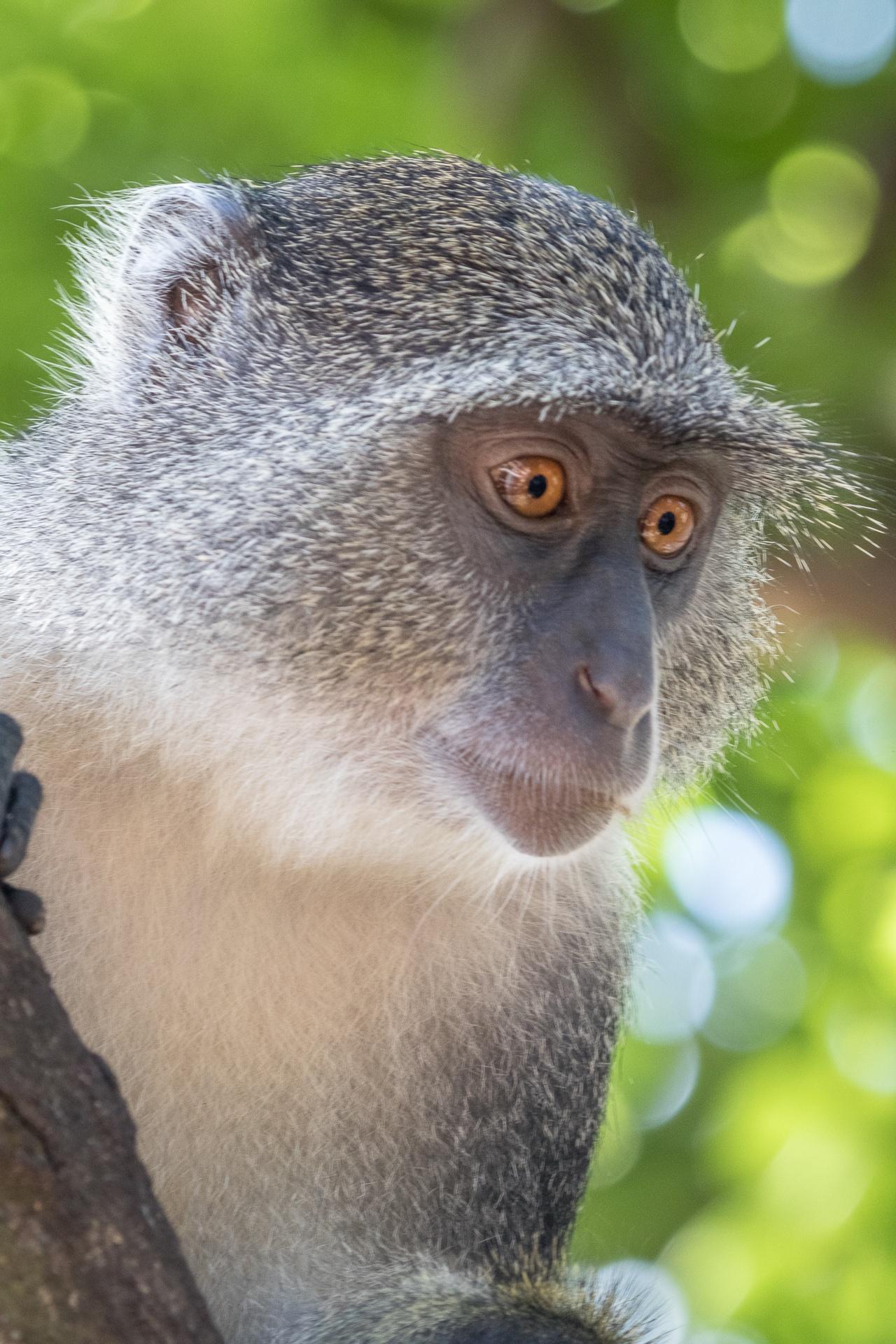 Skyes monkey, Zanzibar-2