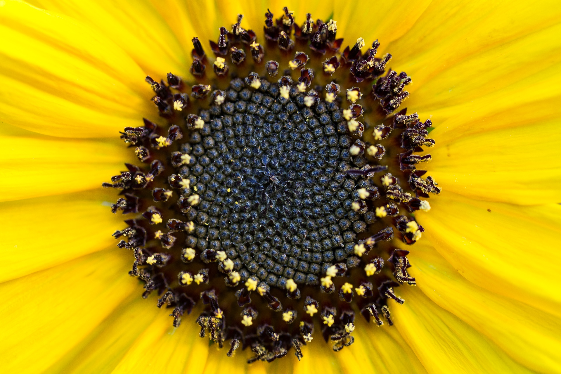Centre of a sunflower close up