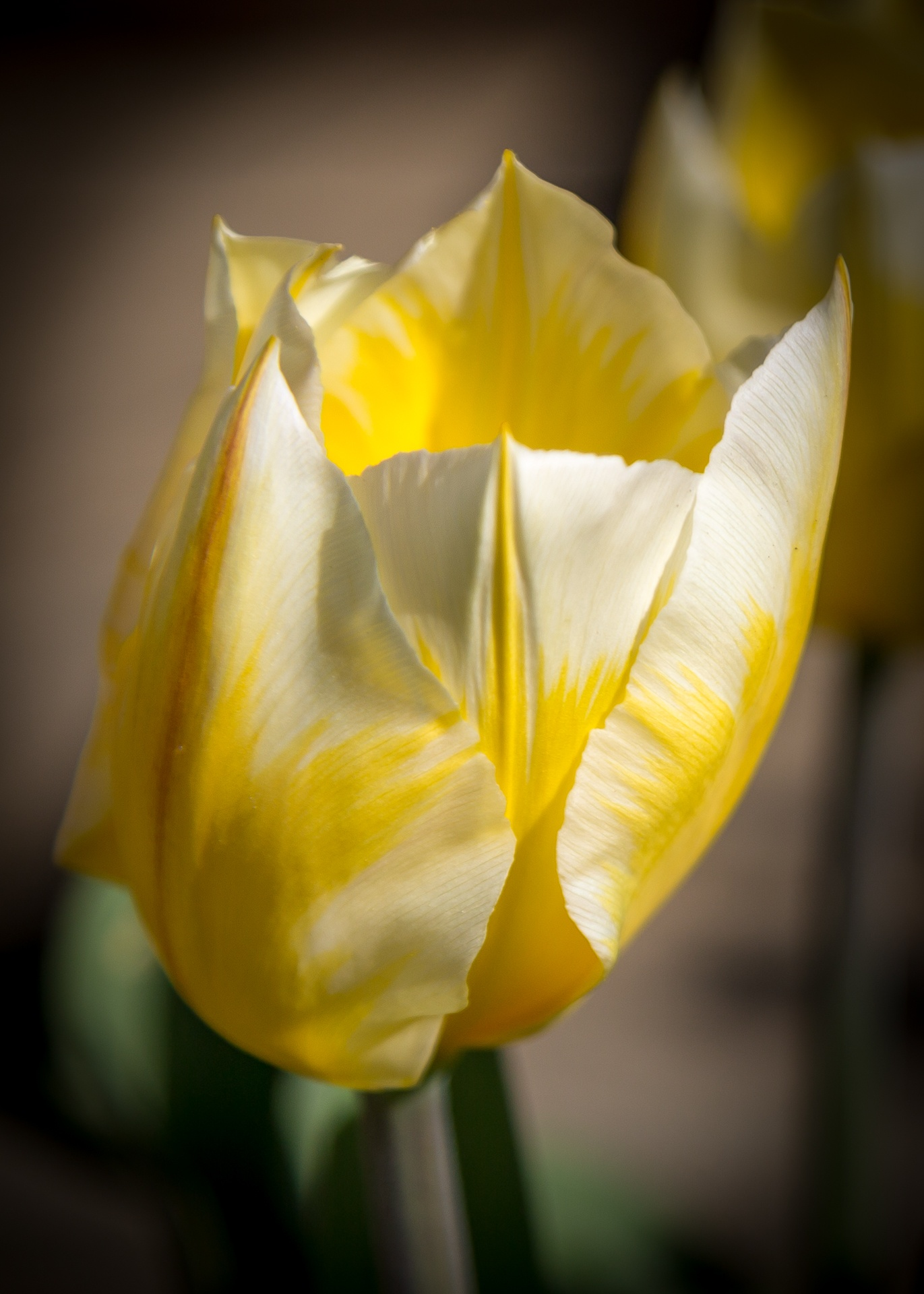 Yellow and white tulip