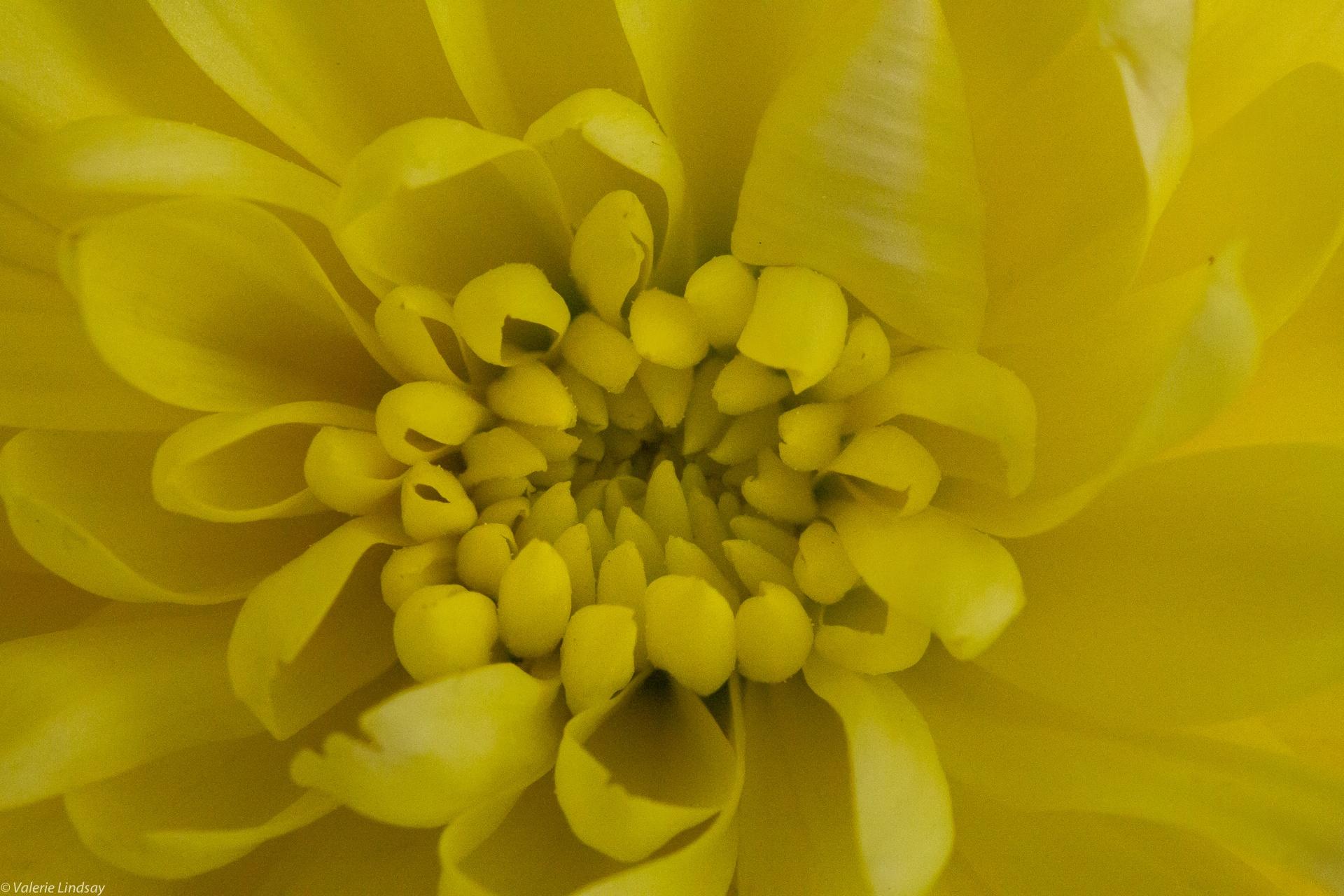 Centre of a chrysanthemum