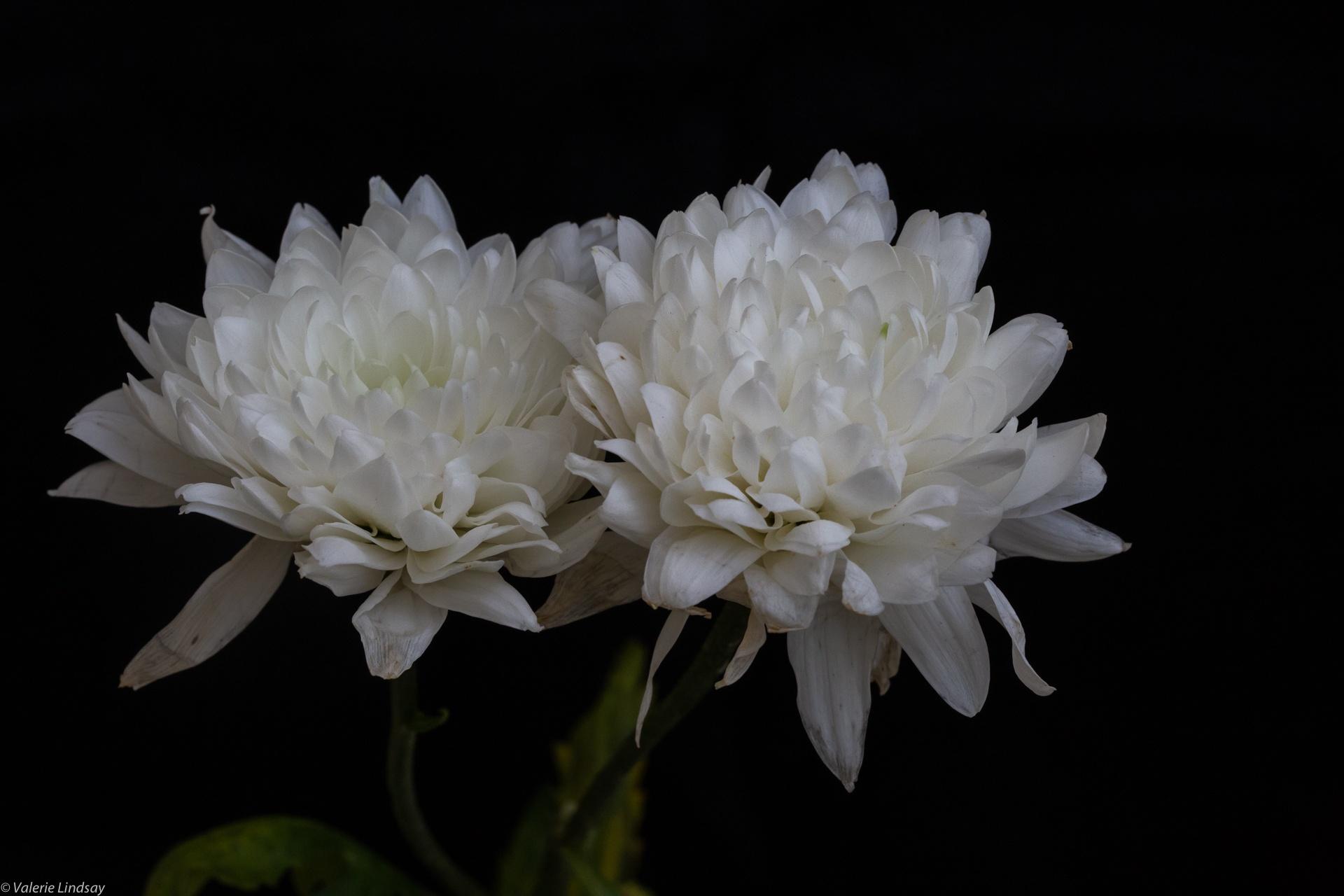 White chrysanthemum pair