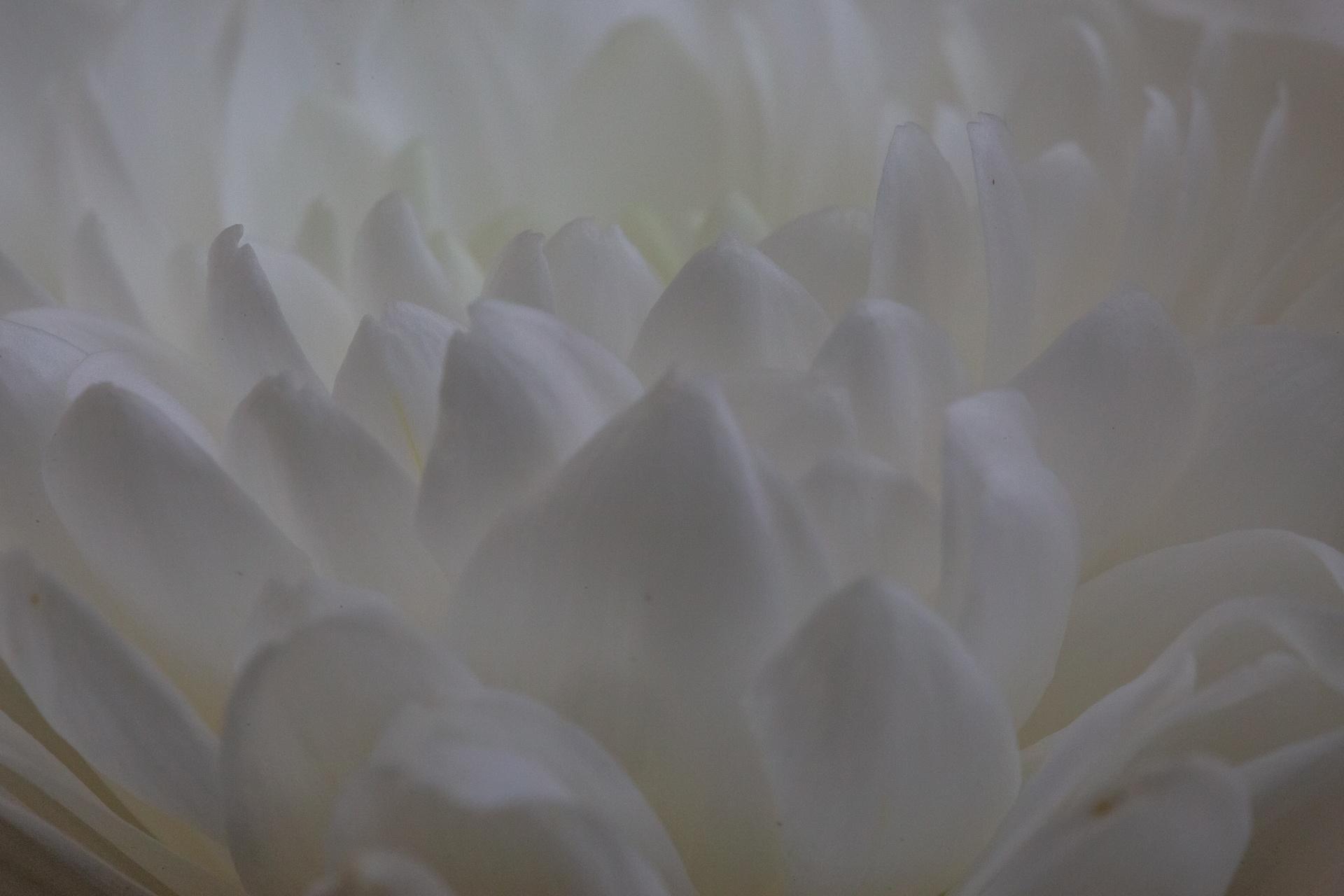 Centre of a chrysanthemum close up