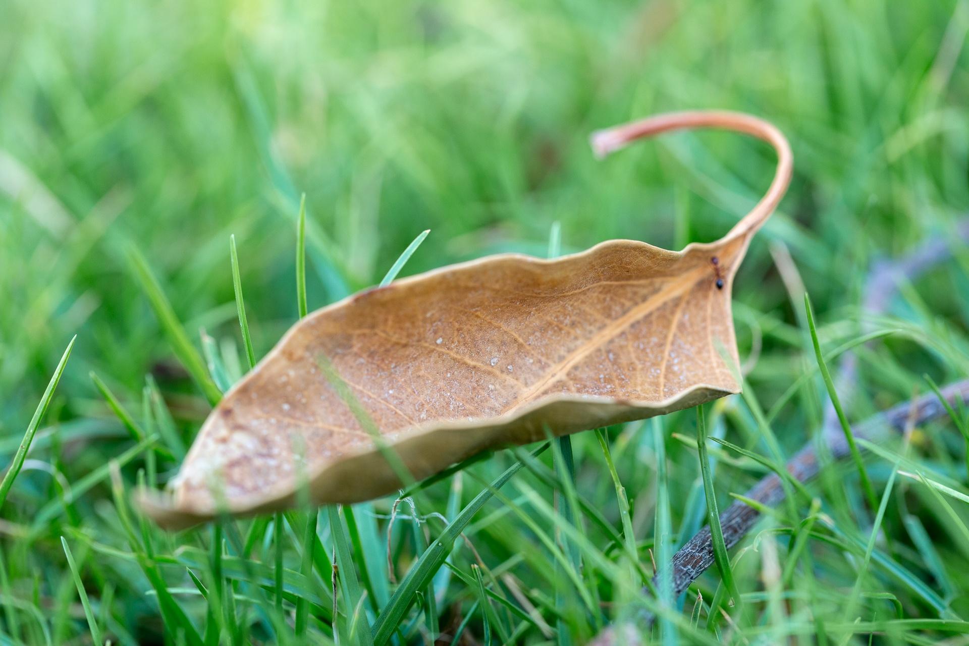 A fallen leaf 'floating' on grass