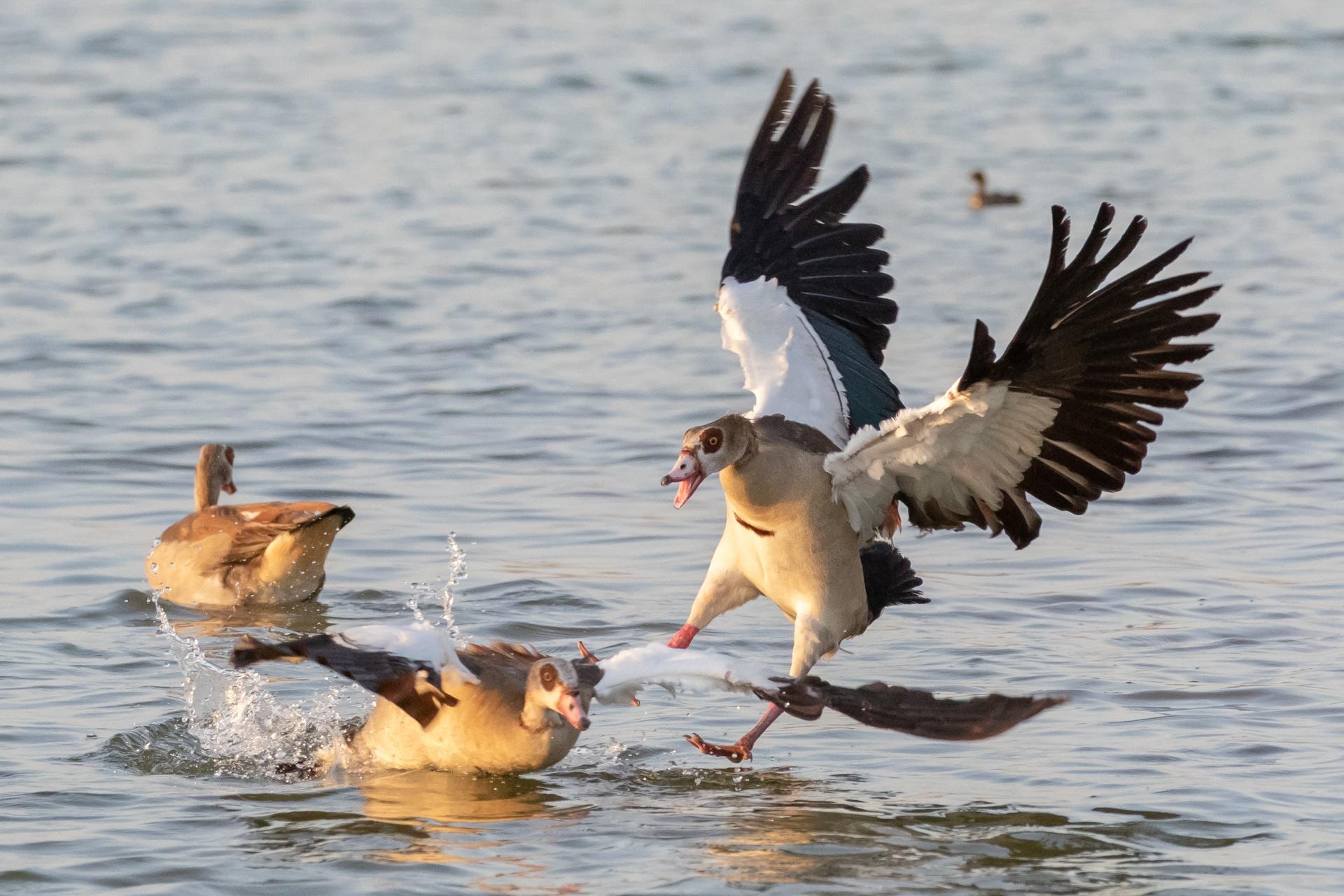 Egyptian Goose crash landing