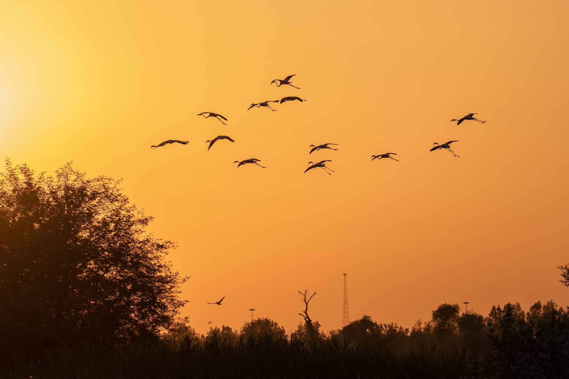 Flamingos flying away to roost for the night
