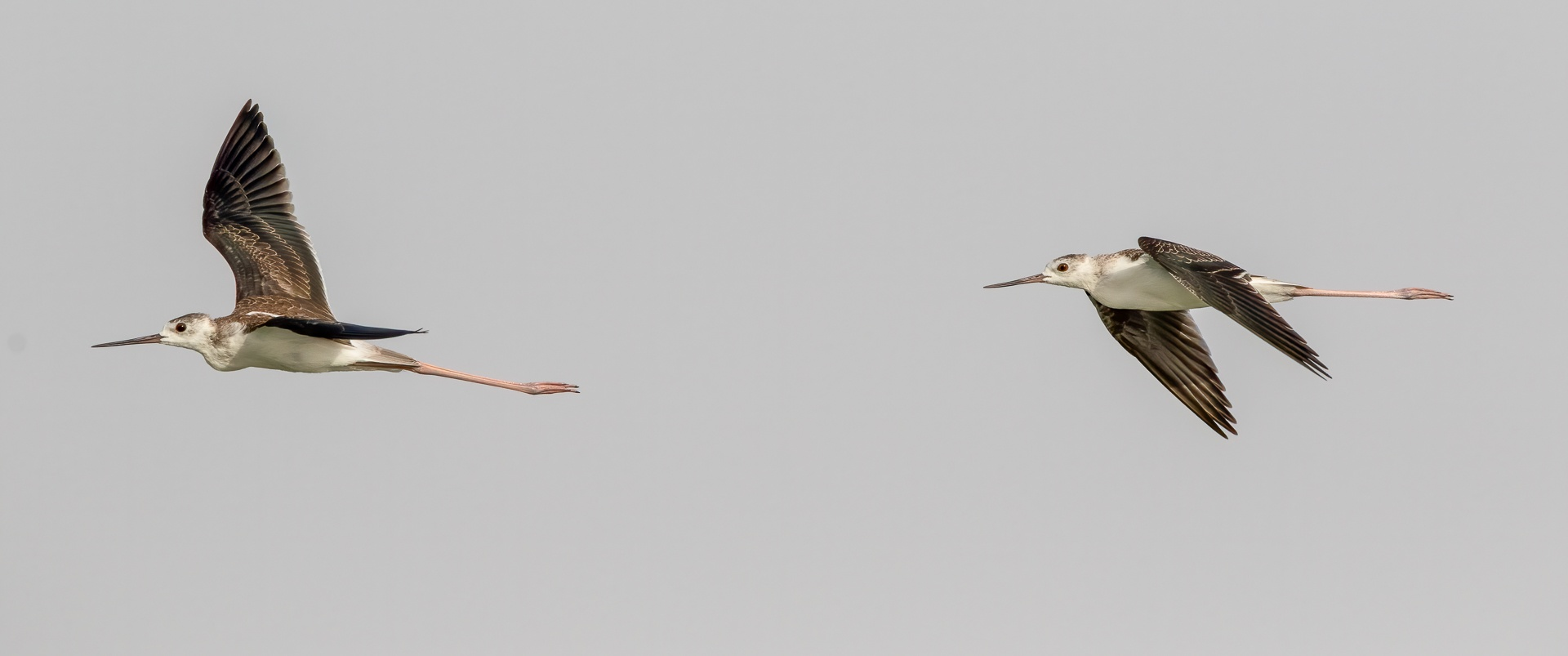 Pair of juvenile black-winged stilts