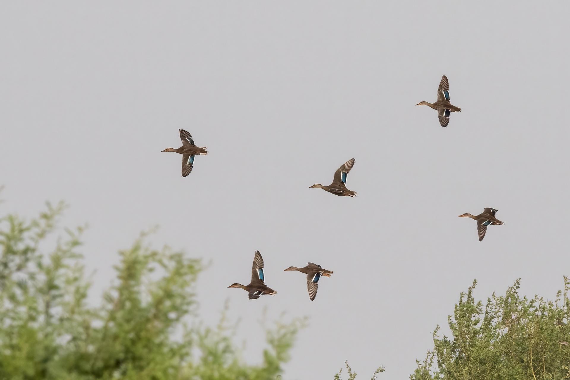 Mallard ducks in formation