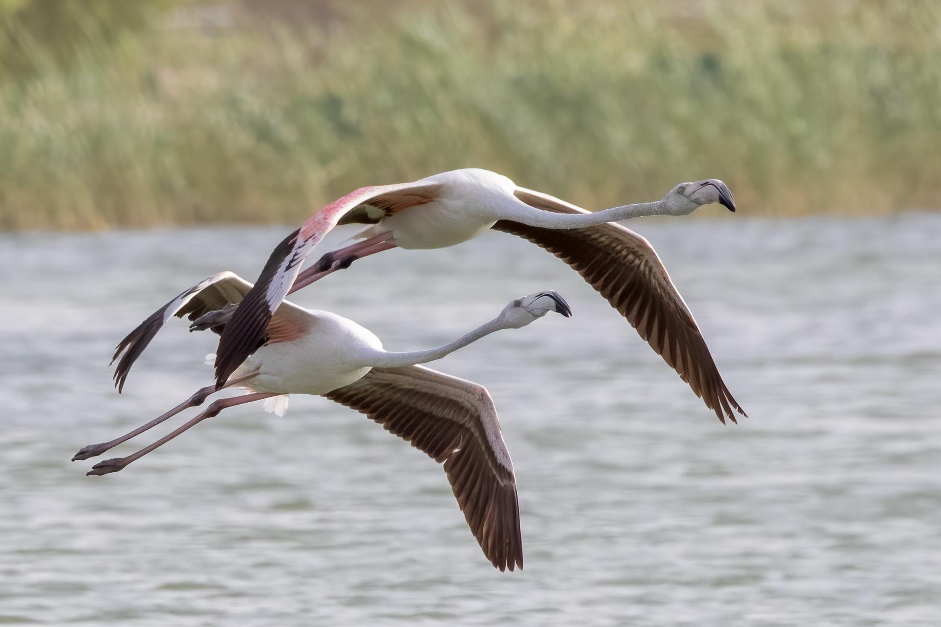 Flamingos in flight formation