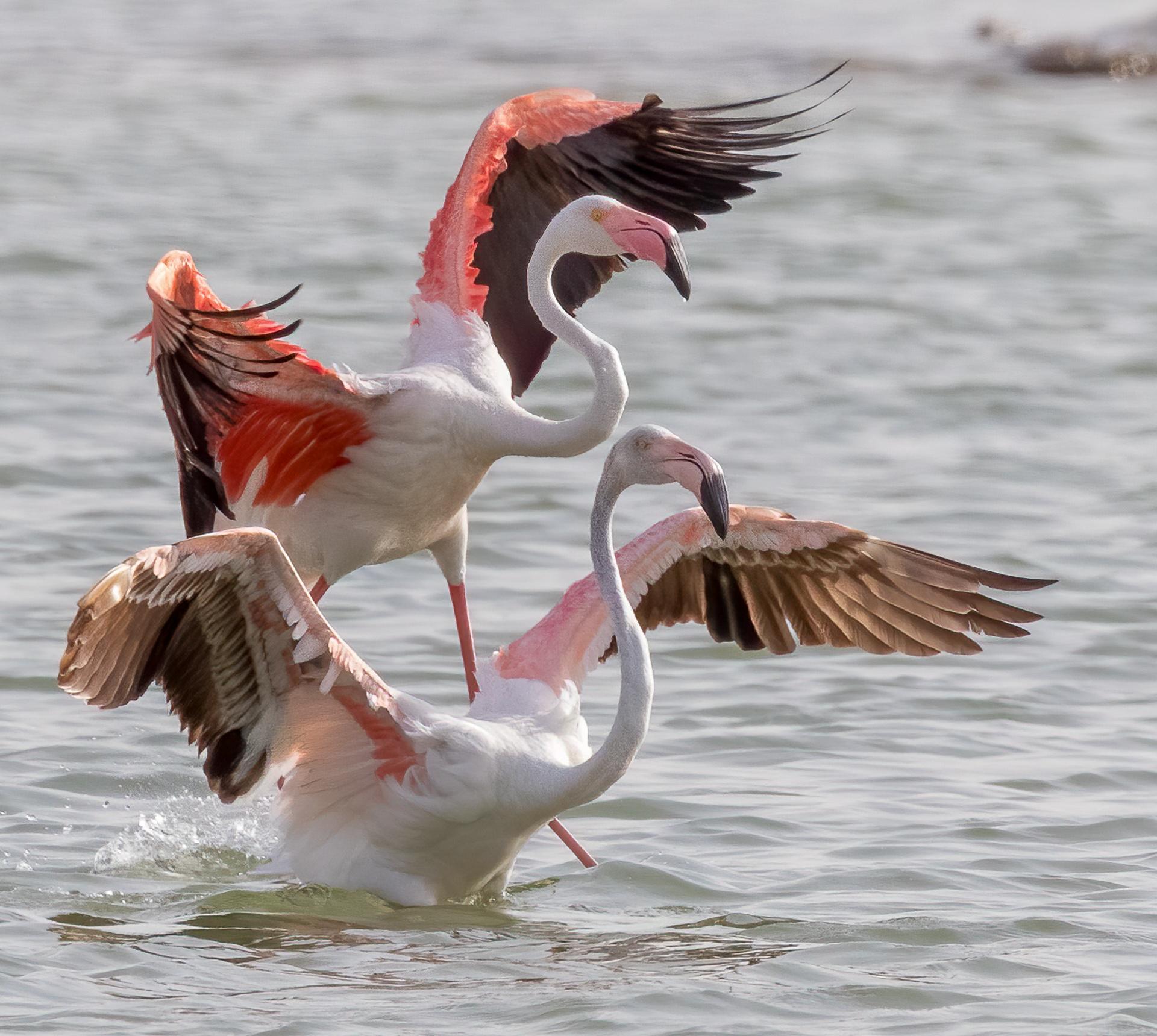 Flamingos landing in unison