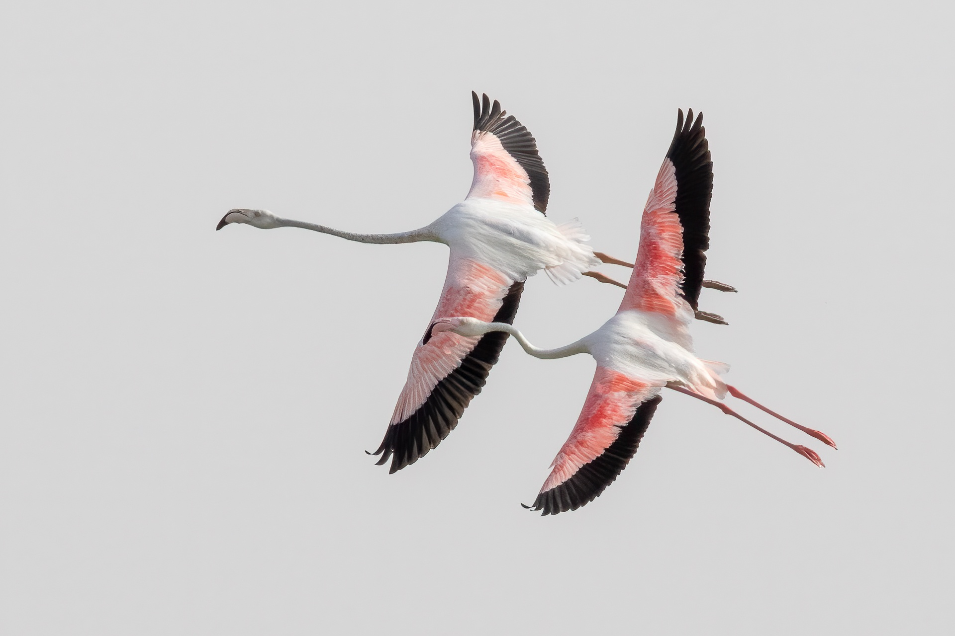 The gracefulness of flamingos in flight