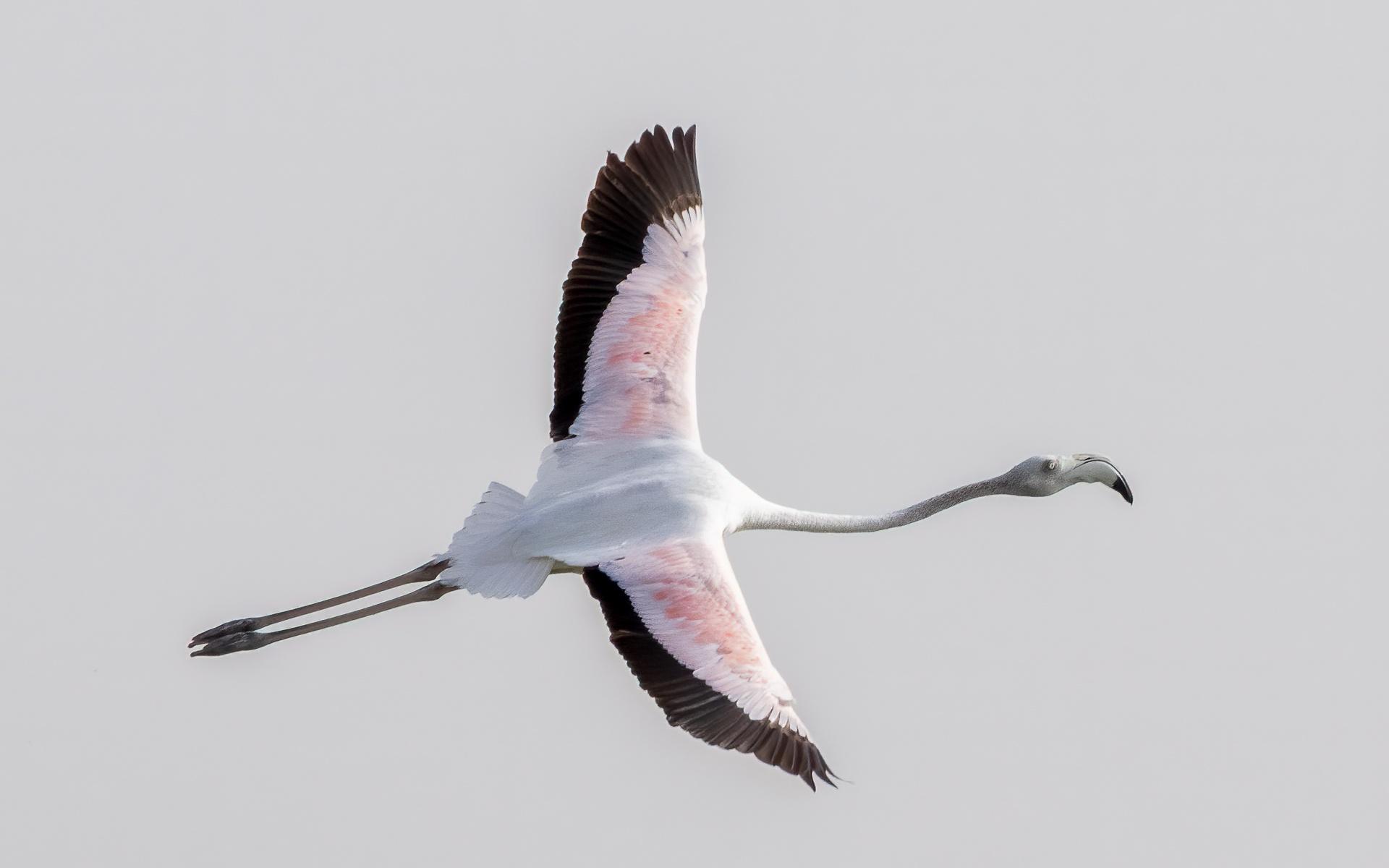 Flamingo soaring
