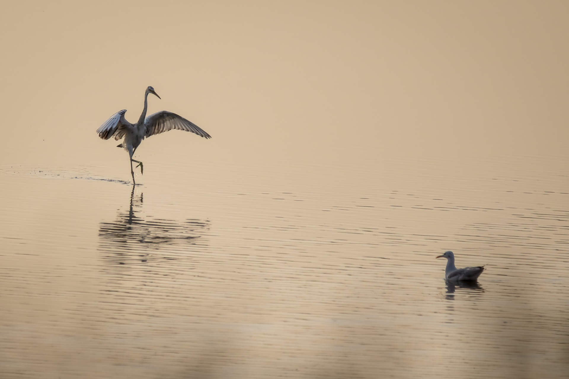 Egret stretching its wings as the sun sets
