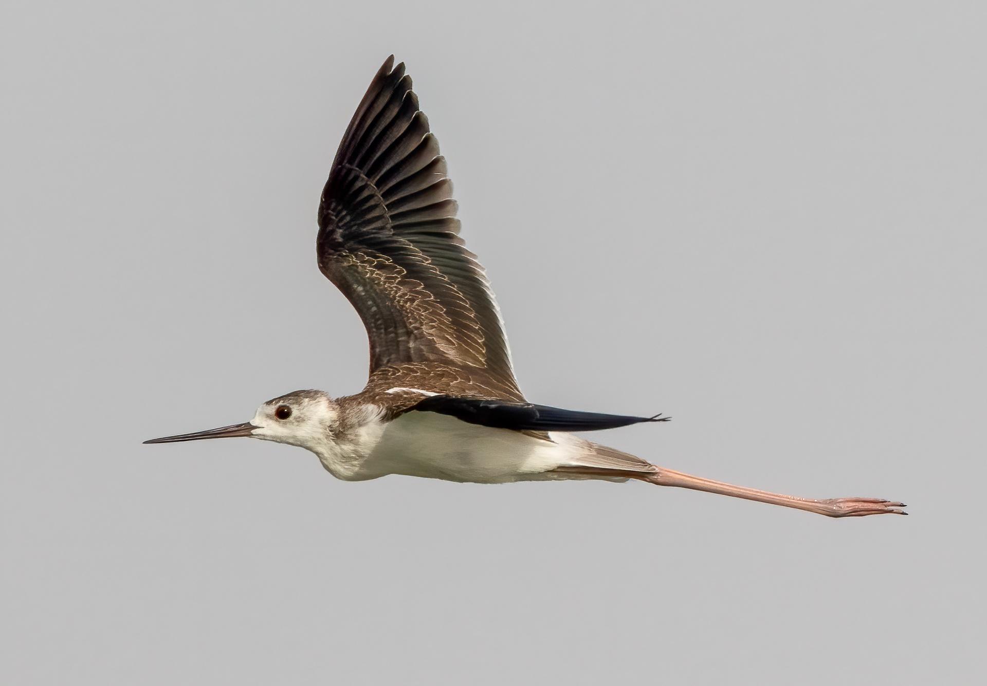 Juvenile black-winged stilt in flight