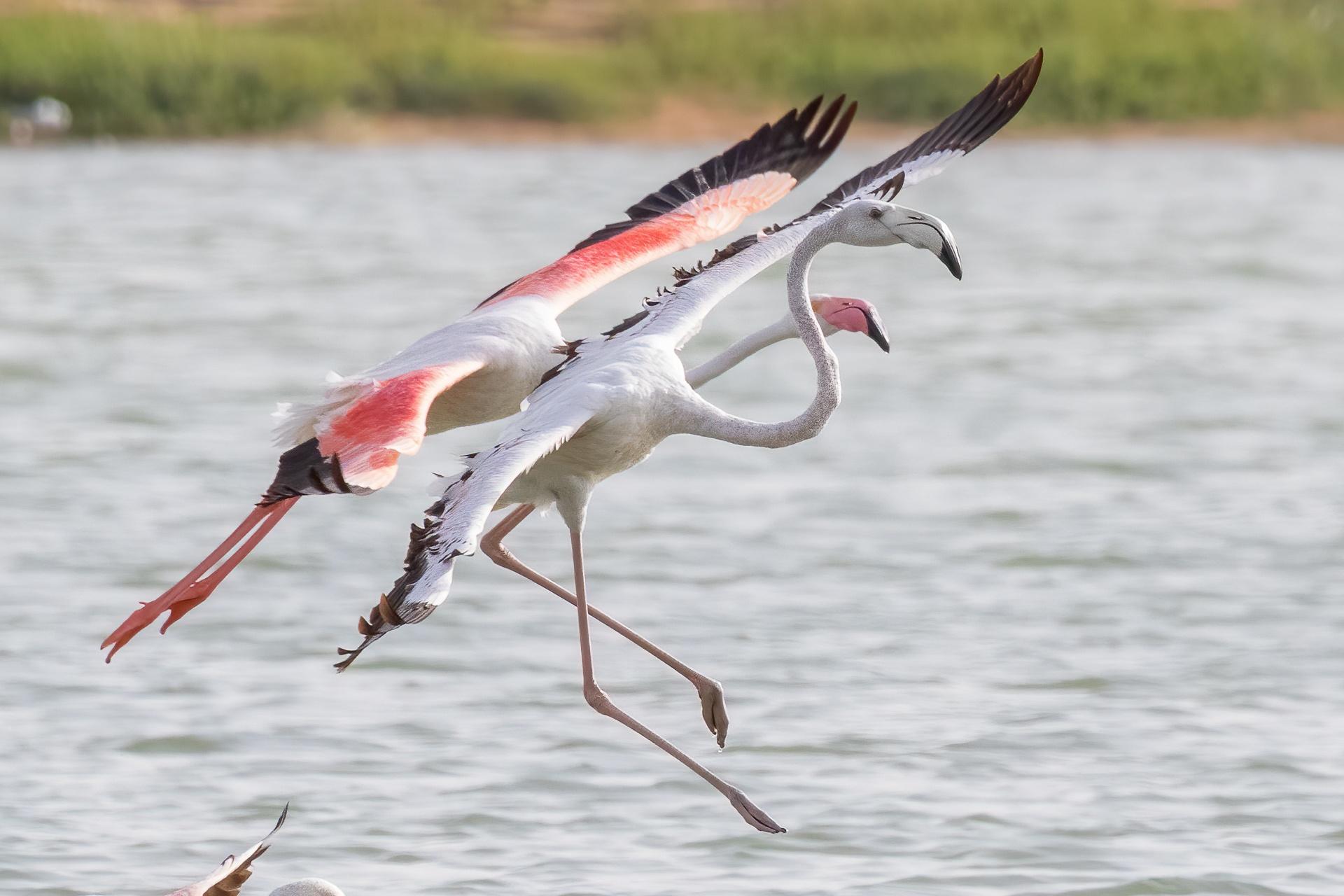 Flamingos on landing approach