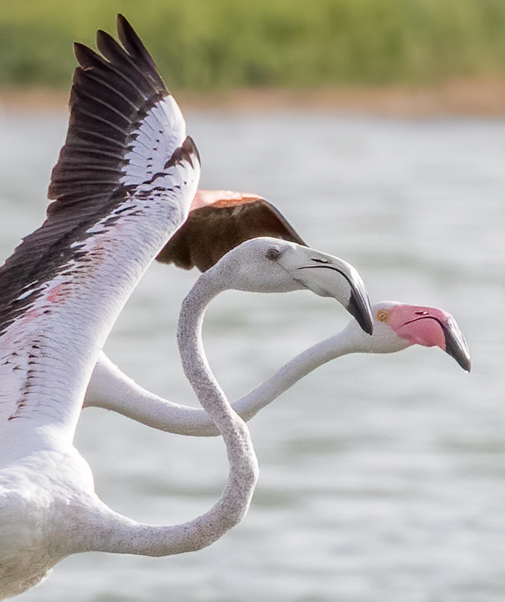 Flamingo pair in flight