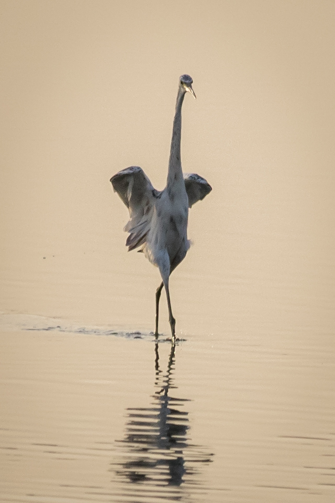 Egret attracting mate at sunset