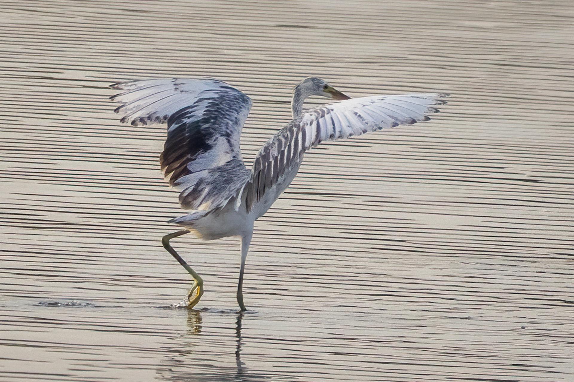 Egret running across rippled water