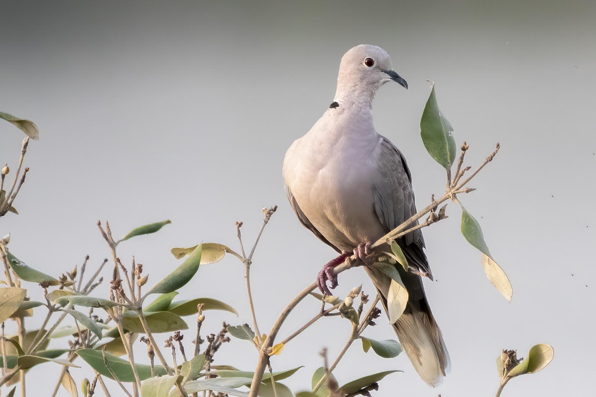 Black collared dove