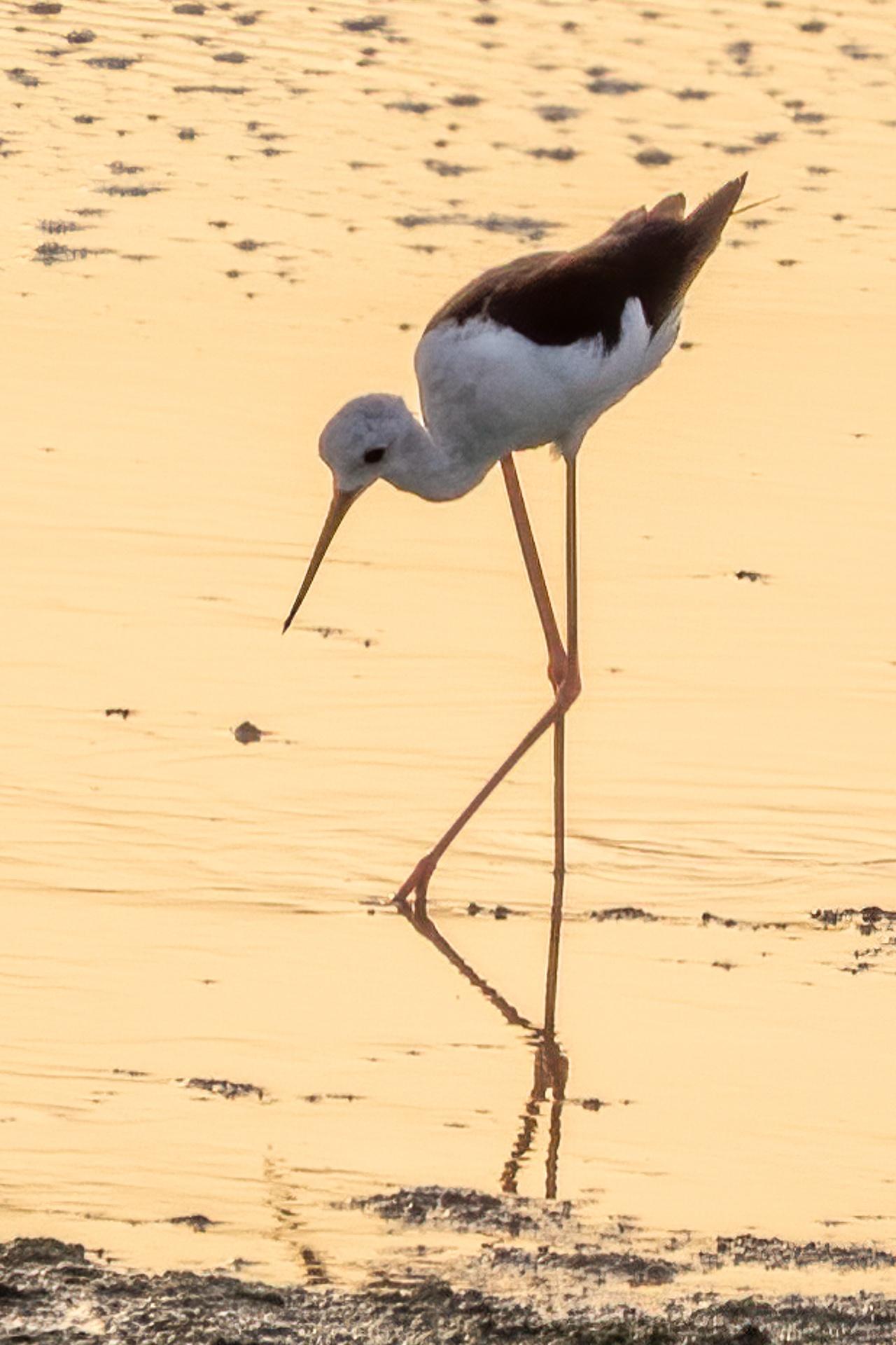 Black winged stilt reflection