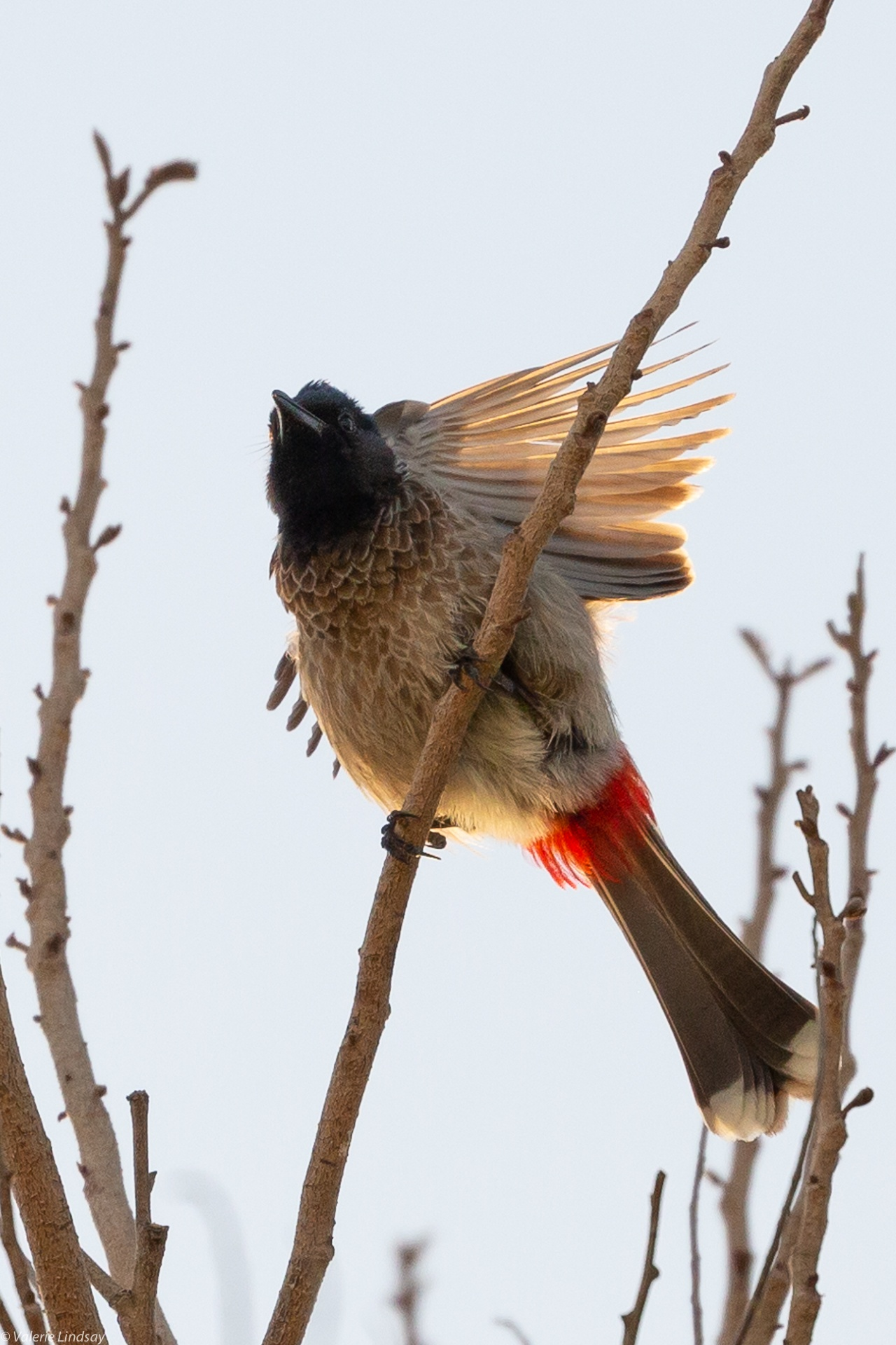Red vented bulbul stretching in late afternoon sun
