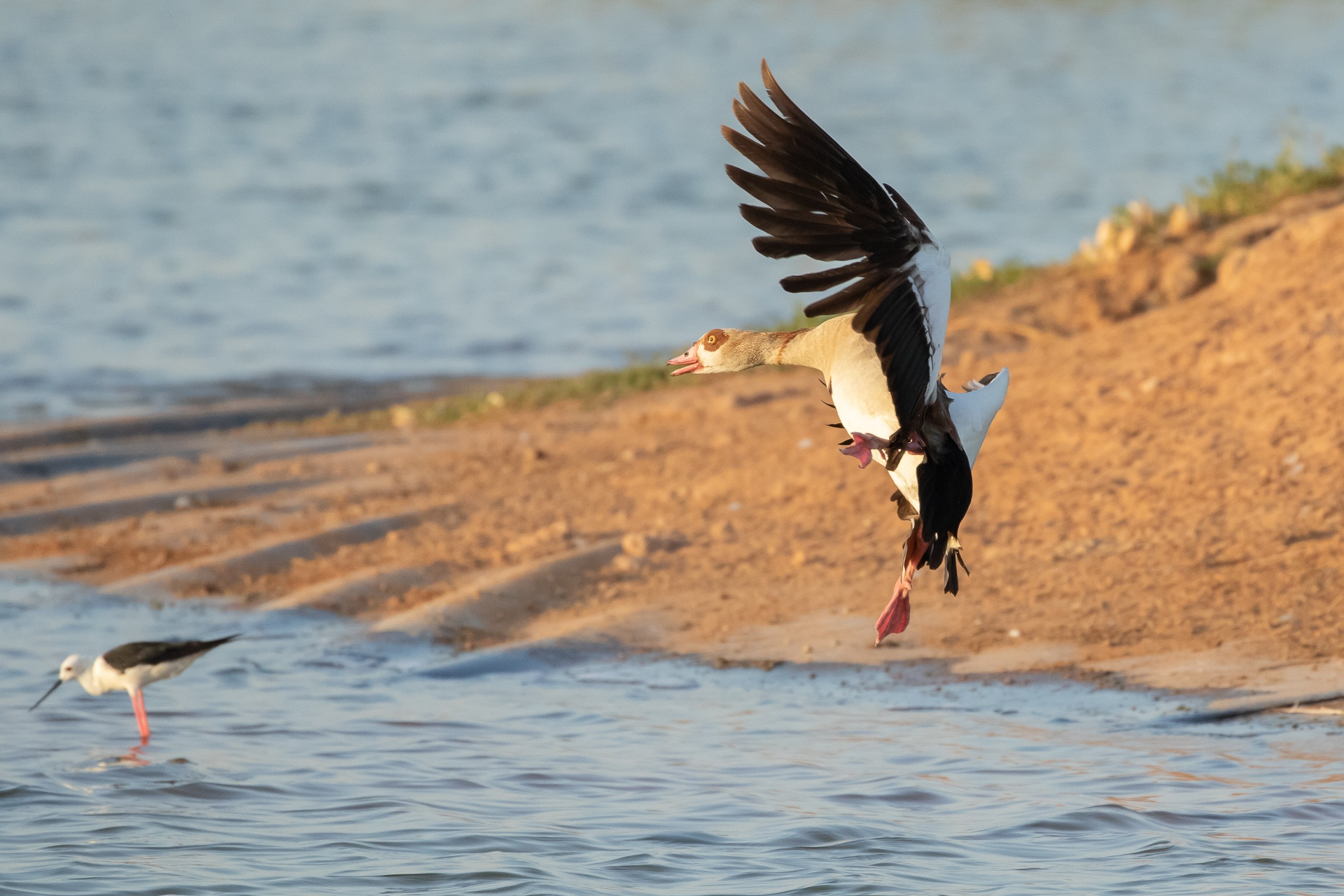 Egyptian Goose preparing to land