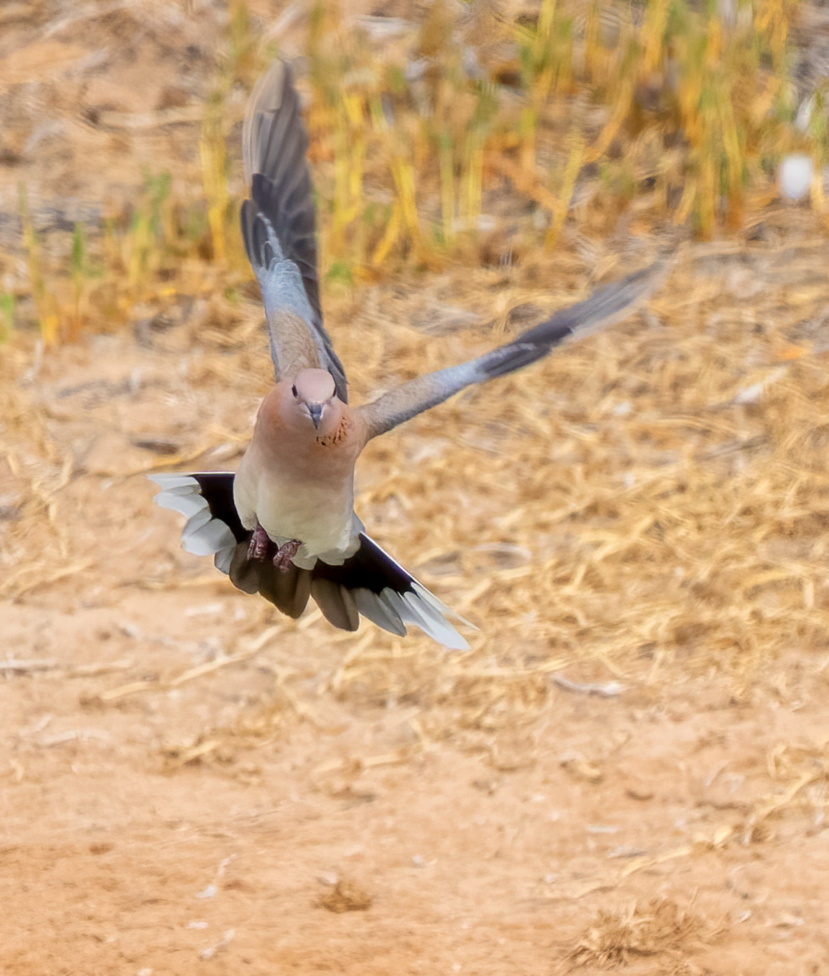 Dove landing from flight
