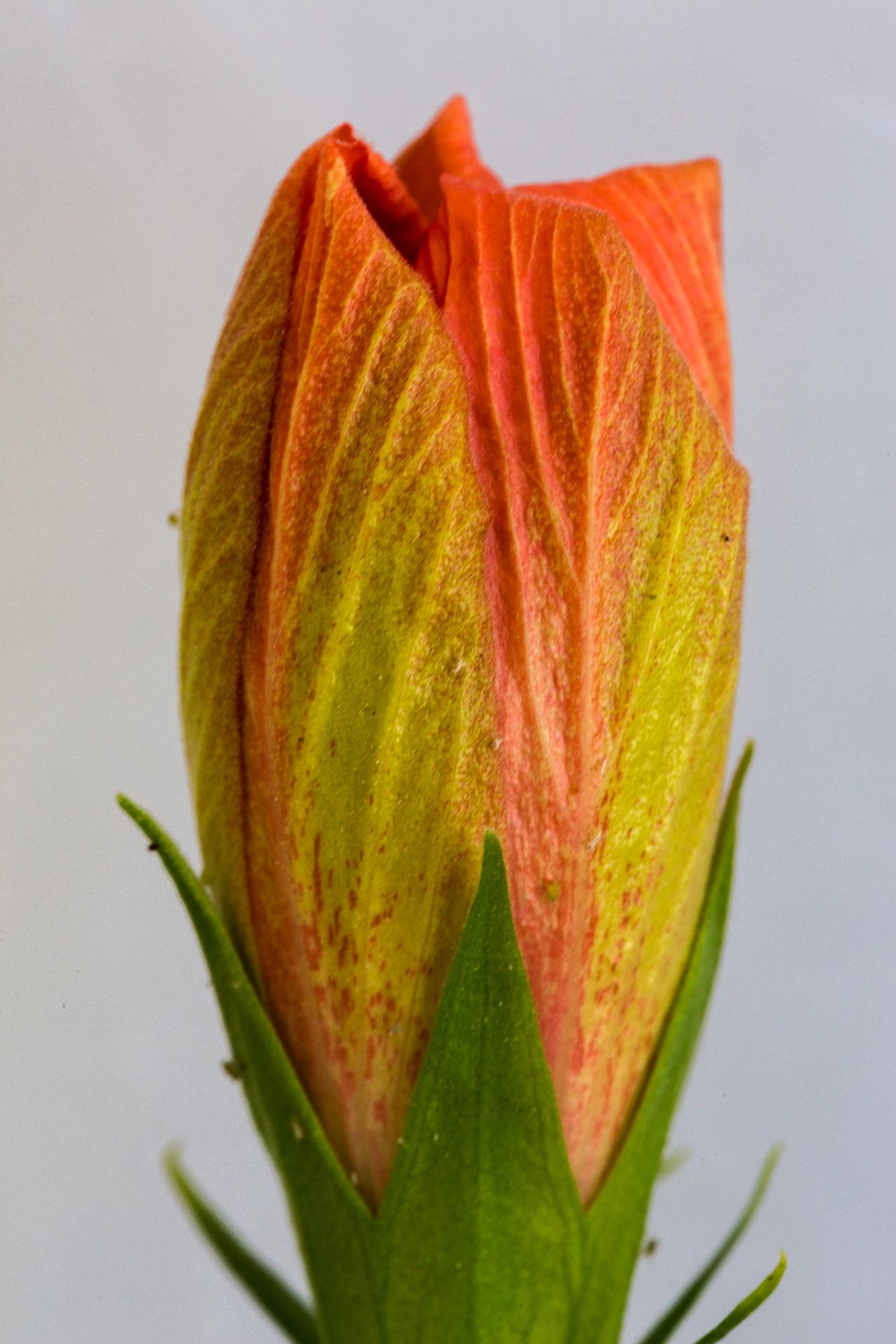 Hibiscus bud close-up