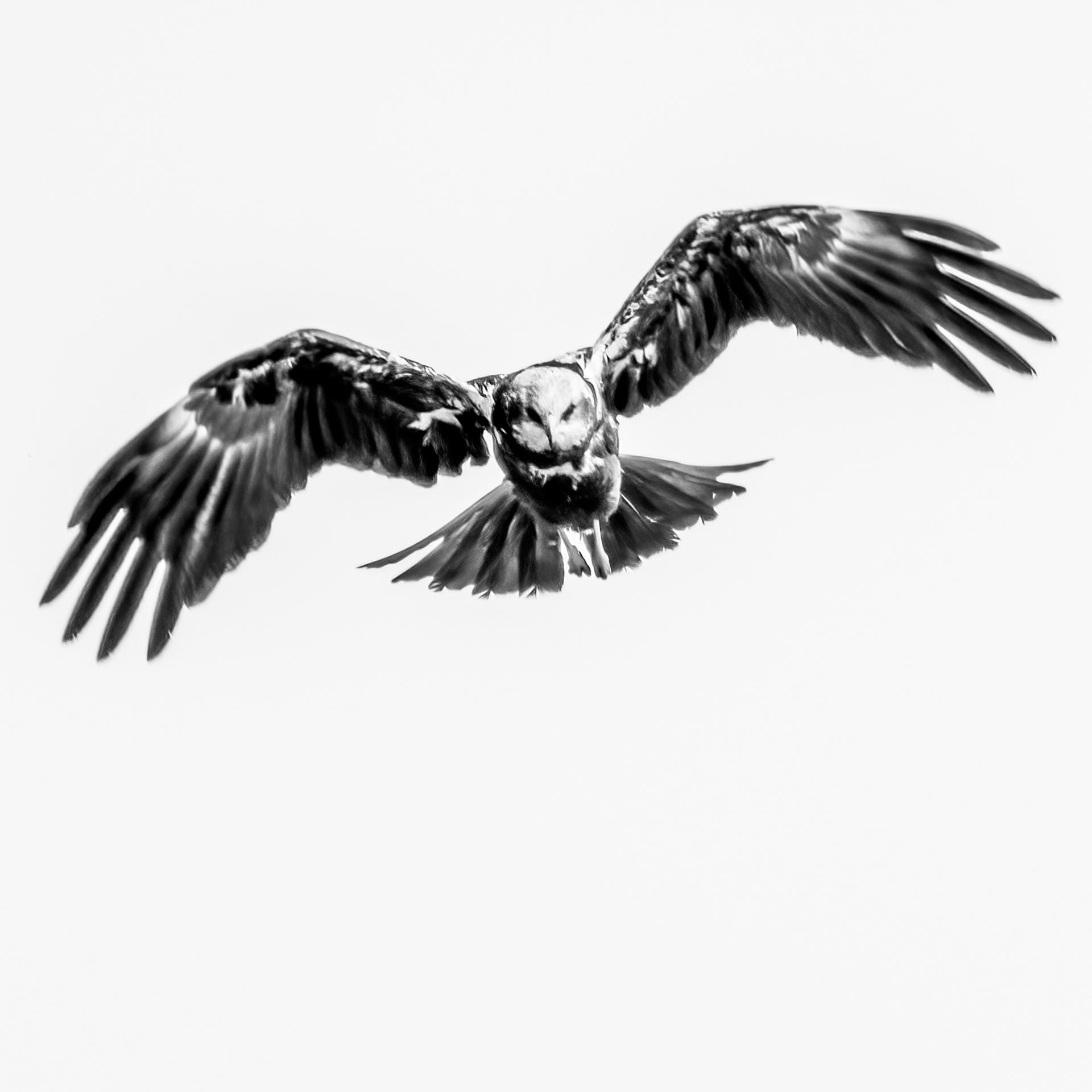 Marsh Hawk hunting-1