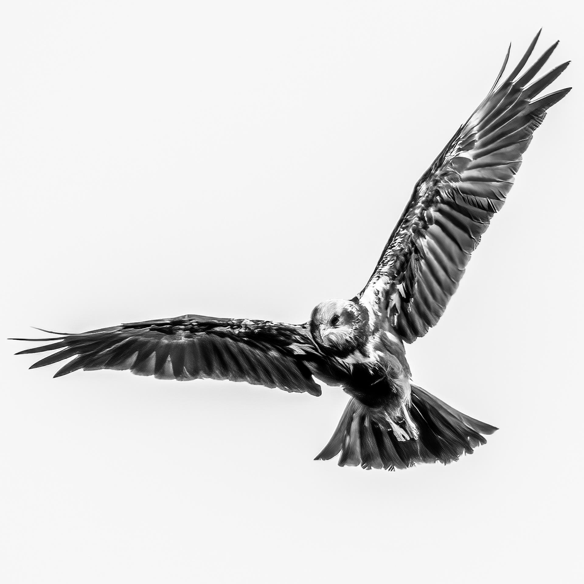 Marsh Hawk hunting-2