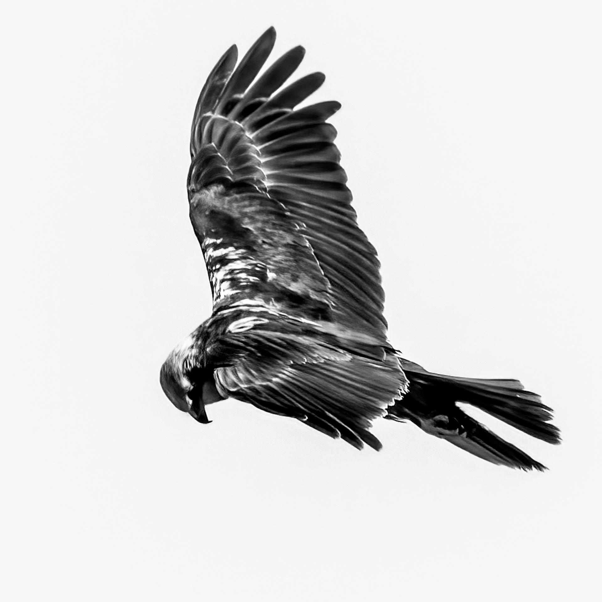 Marsh Hawk hunting-4